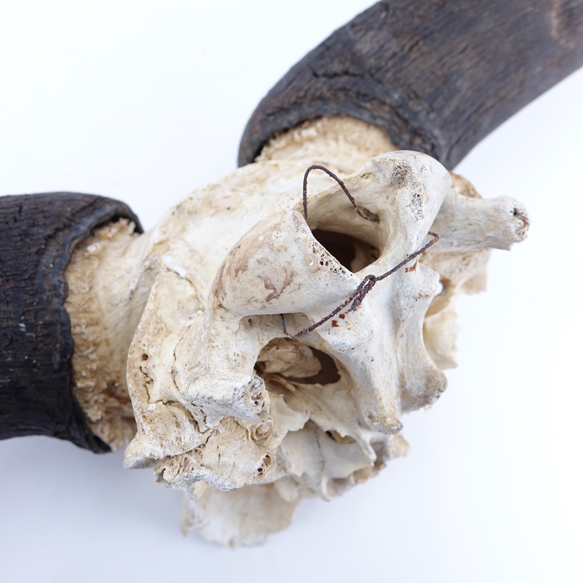 Vintage Water Buffalo Horn with Partial Skull. Typical wear associated with skulls and horns.